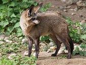 Bat eared fox — Stock Photo