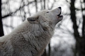 White Hudson Bay Wolf — Stockfoto