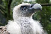 Close up of Vulture outdoors — Stock Photo