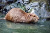 Bever rat near rocks in water — Stock Photo