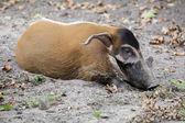 Brush hog lying on sand — Stock Photo