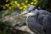 Blue Heron near stones — Stock Photo