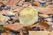 Lycoperdaceae in autumn leaves — Stock Photo