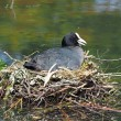 Coot on nest in water — Stock Photo #65165479
