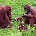 Orang utan couple with baby — Stock Photo #65165851