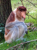 Proboscis monkey sitting near tree — Stock Photo
