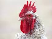 Close up of Rooster heard — Stock Photo