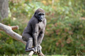 Gorilla youngster having fun on tree — Stock Photo