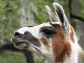 Close up of Lama head — Stock Photo