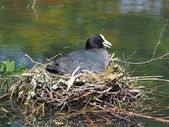 Coot on nest in water — Stock Photo