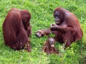 Orang utan couple with baby — Stock Photo