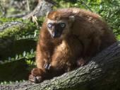 Blue eyed lemur — Stock Photo