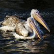Two Pelicans on water — Stock Photo #66160786