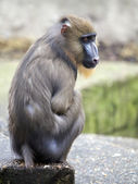 Mandrill sitting on stone — Stock Photo