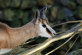 Springbok near the tree branch — Stock Photo