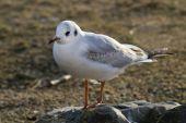 White Gull on stone — Stock Photo