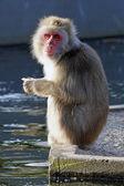 Japanese monkey near water — Stock Photo