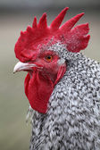 Rooster on blurred background — Stock Photo