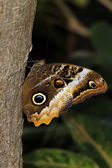 Owl butterfly on the tree — Stock Photo