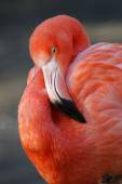 Beautiful pink Flamingo — Stock Photo