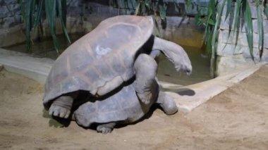 Krycia gigantyczne żółwie — Wideo stockowe