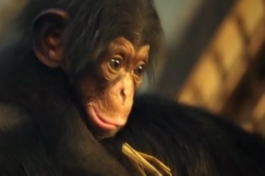 Cute chimpanzee baby — Stock Video