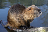 Bever rat near the water — Stock Photo