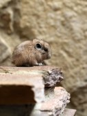 Gundi sitting on stone — Stock Photo