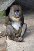 Mandrill sitting on the stone — Stock Photo