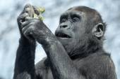 Gorilla youngster eating — Stock Photo