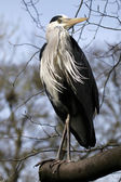 Blue Heron on branch — Stock Photo