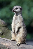 Meerkat on wooden branch — Stock Photo
