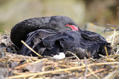 Black swan on nest — 图库照片