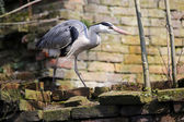 Blue Heron on the bricks — Stock Photo