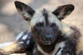 Close up of Wild dog — Stock Photo