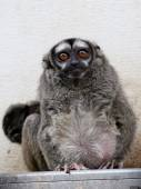 Owl monkey in the zoo — Stock Photo
