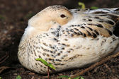 Duck laying on the ground — Stock Photo