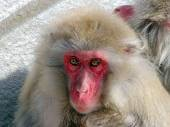 Two Japanese Monkeys — Stock Photo