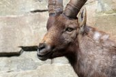 Alpine Ibex looking at camera — Stock Photo