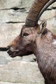 Close up of Alpine Ibex — Stockfoto