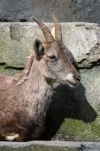 Female Alpine Ibex — Stockfoto
