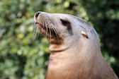 Male brown sealion — Stock Photo