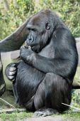 Female gorilla eating — Stock Photo
