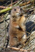 Prairie dog nibbling branch — Stock Photo