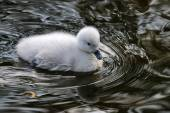 Black necked swan baby — Stock Photo