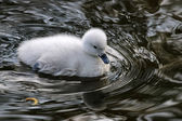 Black necked swan baby — 图库照片