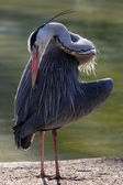 Blue Heron near the water — Stock Photo