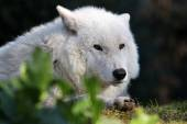 White Hudson Bay wolf — Stock Photo