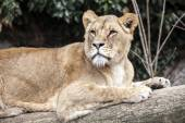 Lioness lying on a tree — Stock Photo