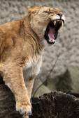 Growling Lioness on stones — Stock Photo